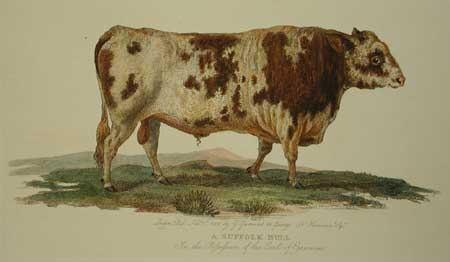 Garrard Suffolk Bull